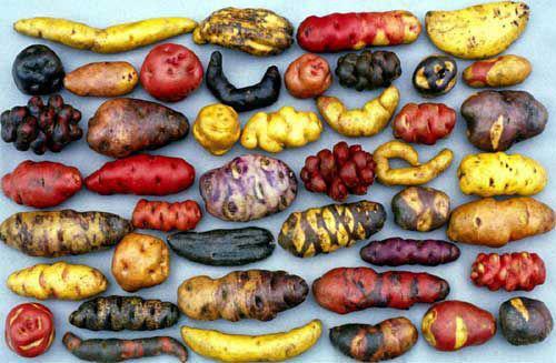 Les variétés de patates