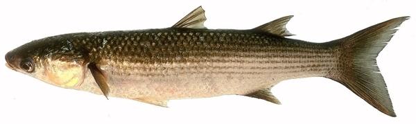 mulet, poisson de mai