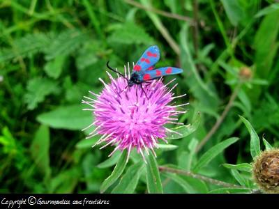 ariege-fleurs-montagne