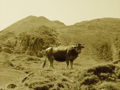 ariege-vache