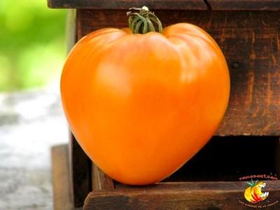 coeur-boeuf-orange