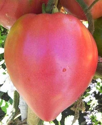 tomate-rose-coeur-de-boeuf