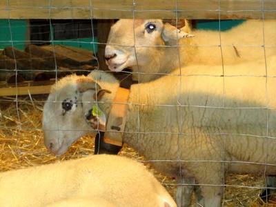 sisqa-agneau