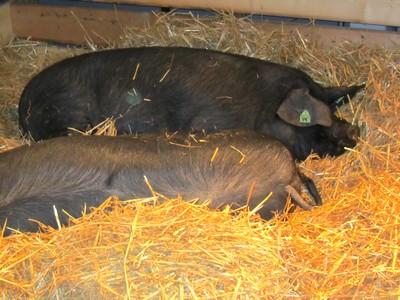 sisqa-porc-noir