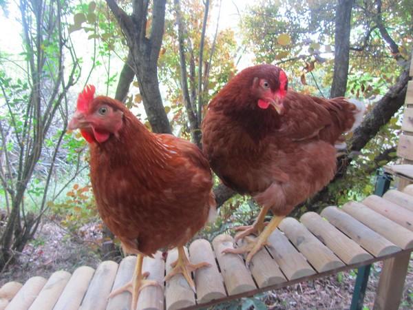 roussette-poules