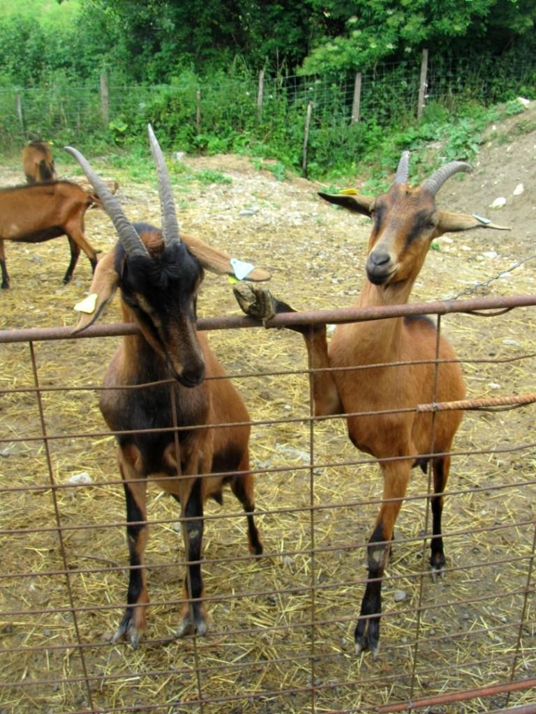 lauragais-chèvre