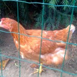poule-saison-oeuf