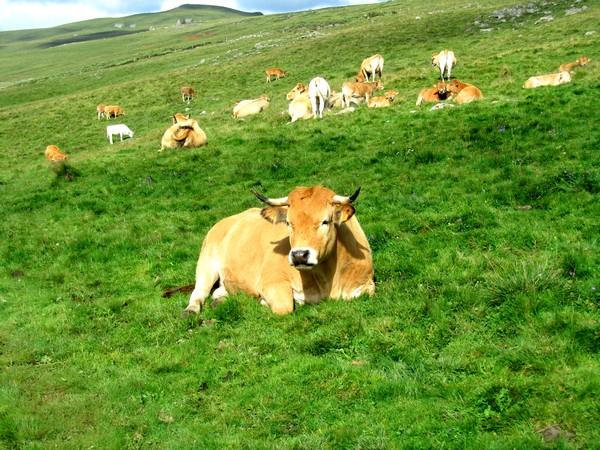aubrac-vache-aveyron