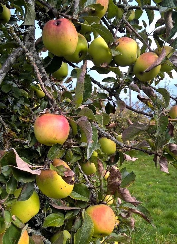 pommes-Aveyron