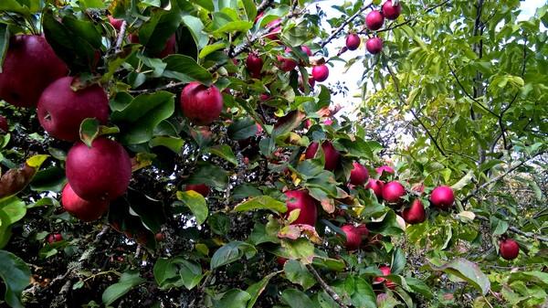 pommes-bio-Aveyron