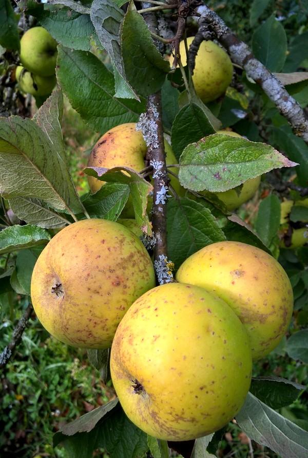 pommes-jardin-bio